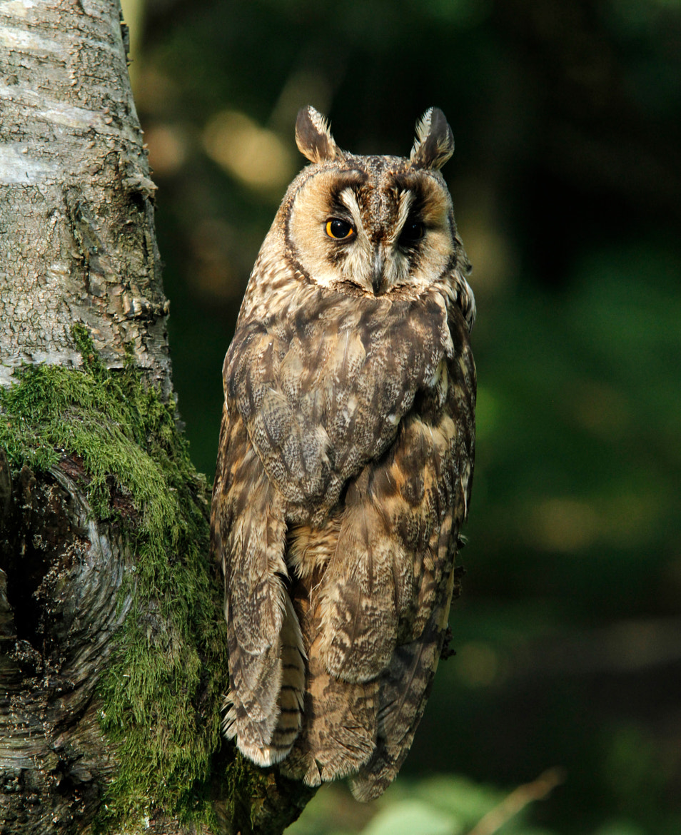 Photograph Long Eared Owl by Ian Rentoul on 500px