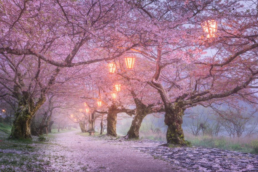 Sakura by Daniel Kordan on 500px.com