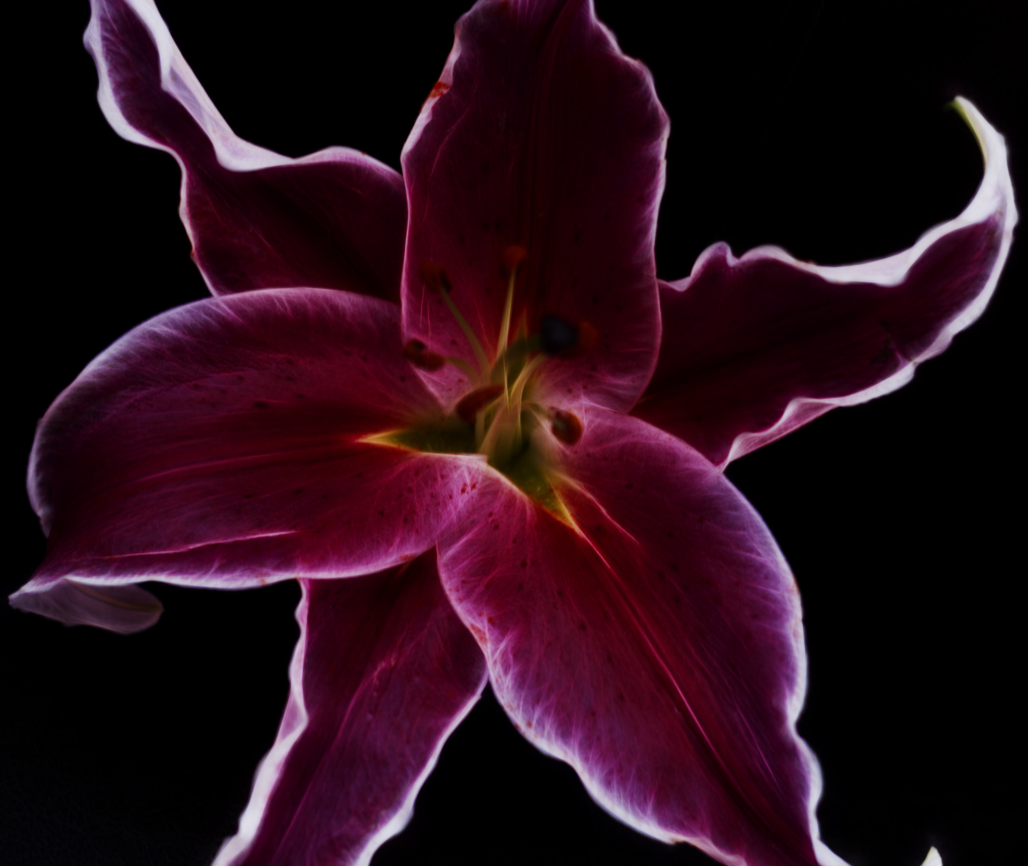 Photograph Lilium Stargazer by Linda Tiepelman on 500px