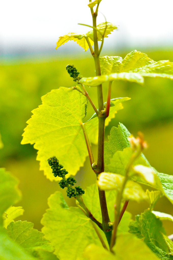 Photograph early grapes by alison christiana on 500px