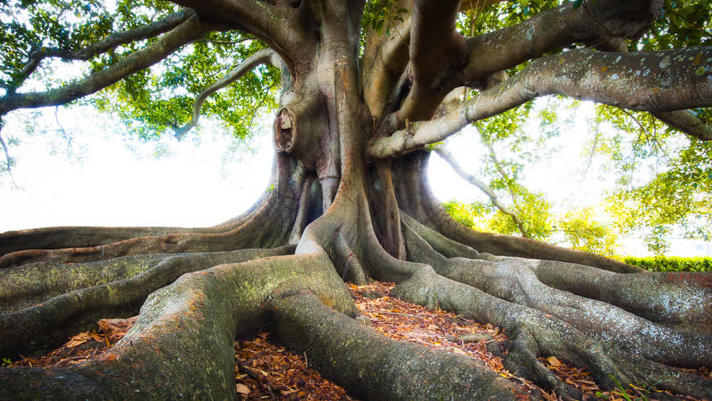 Photograph Moreton Bay Fig by Mike Hollman on 500px