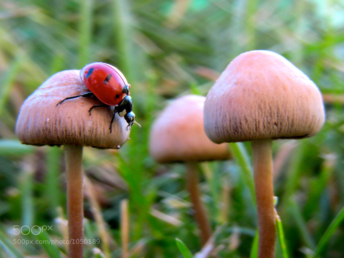 Photograph Lady Bug on a Mushroom by Christian Madsen on 500px