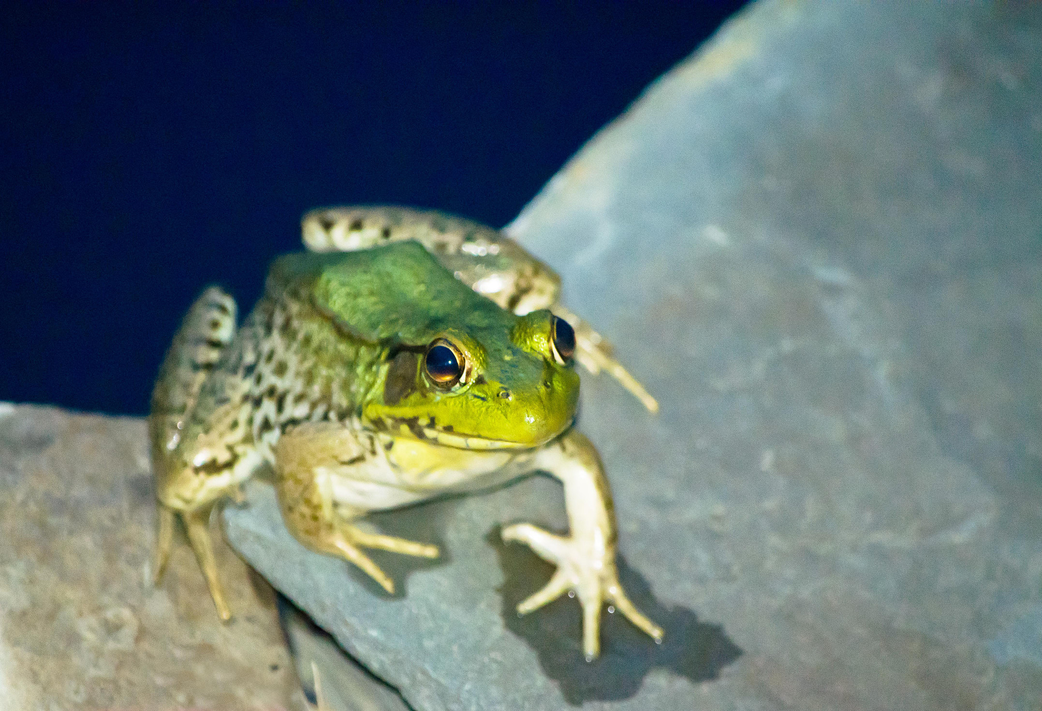 Photograph Our pond frog II by Scott Vrana on 500px