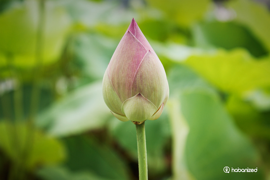 Photograph Lotus Bud by Eugene W on 500px