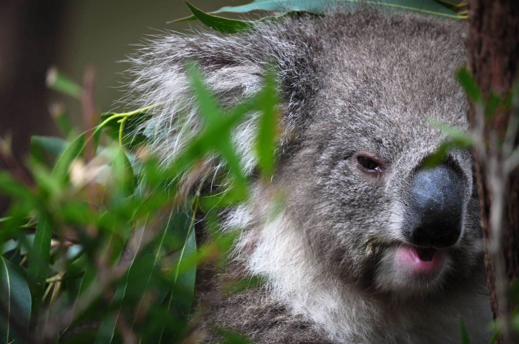 Photograph Koala Close Up by Andrew Sharpe on 500px