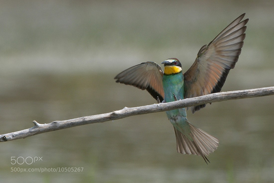 Photograph MEROPS APIASTER by Miran Krapež on 500px
