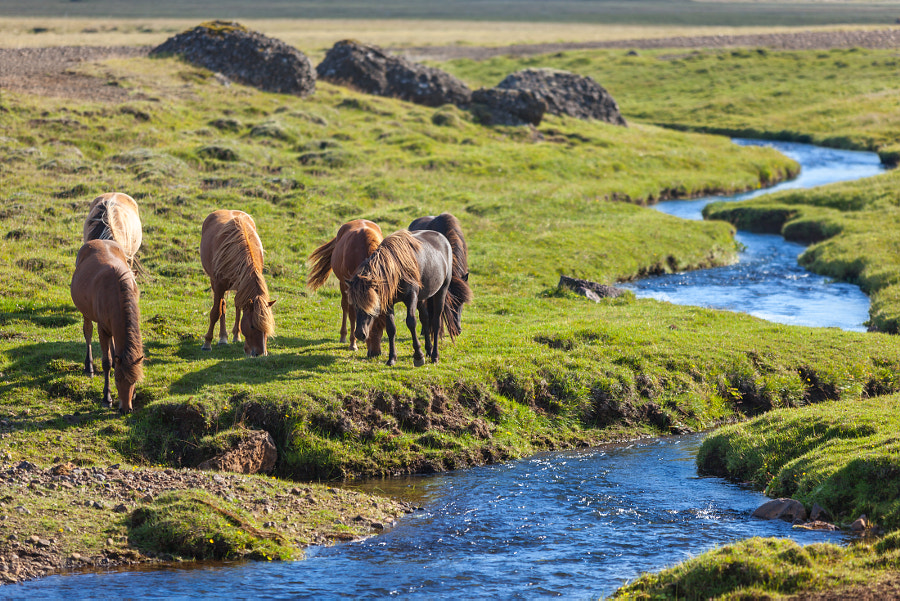 Photograph Horses in a green field of Iceland by dvoevnore . on 500px