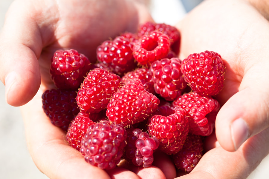 Photograph Hands holding red raspberries by dvoevnore . on 500px