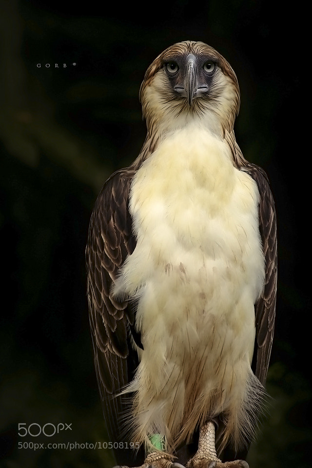 Photograph the Philippine Eagle by randy go on 500px