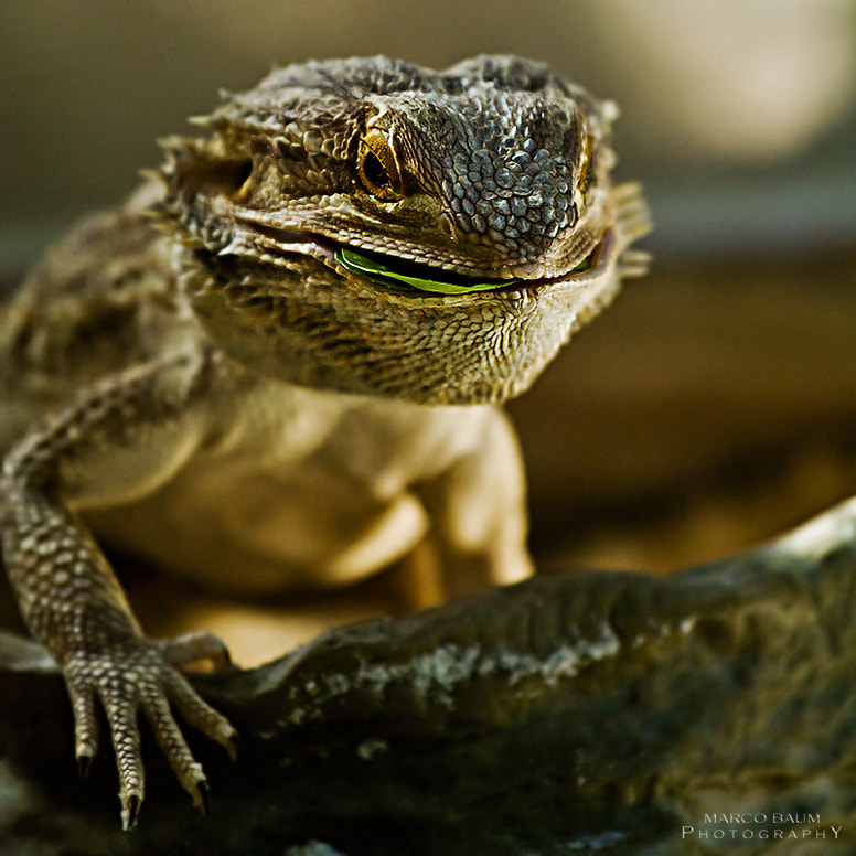 Photograph bearded dragon by Marco Baum on 500px