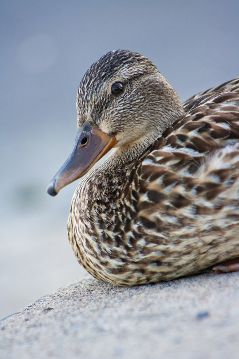 Photograph Lady Duck Angle 1 by Julie Lapierre on 500px