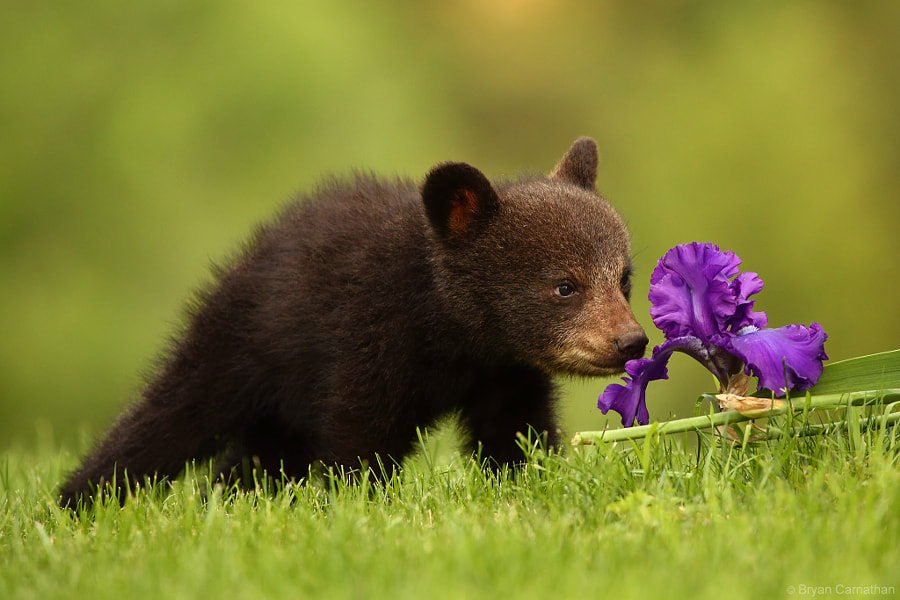 Photograph Canon 200-400 L IS Captures Black Bear Cub and an by Bryan Carnathan on 500px