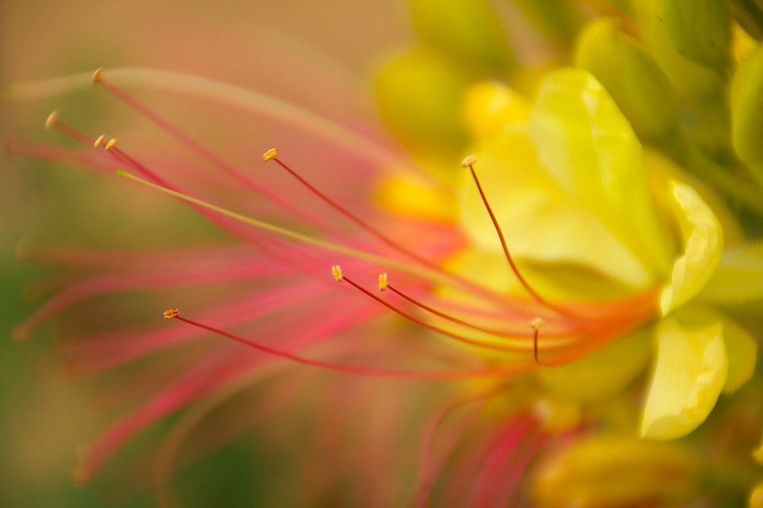 Photograph Stamina, Petals and Brushstrokes by Mark Geistweite on 500px