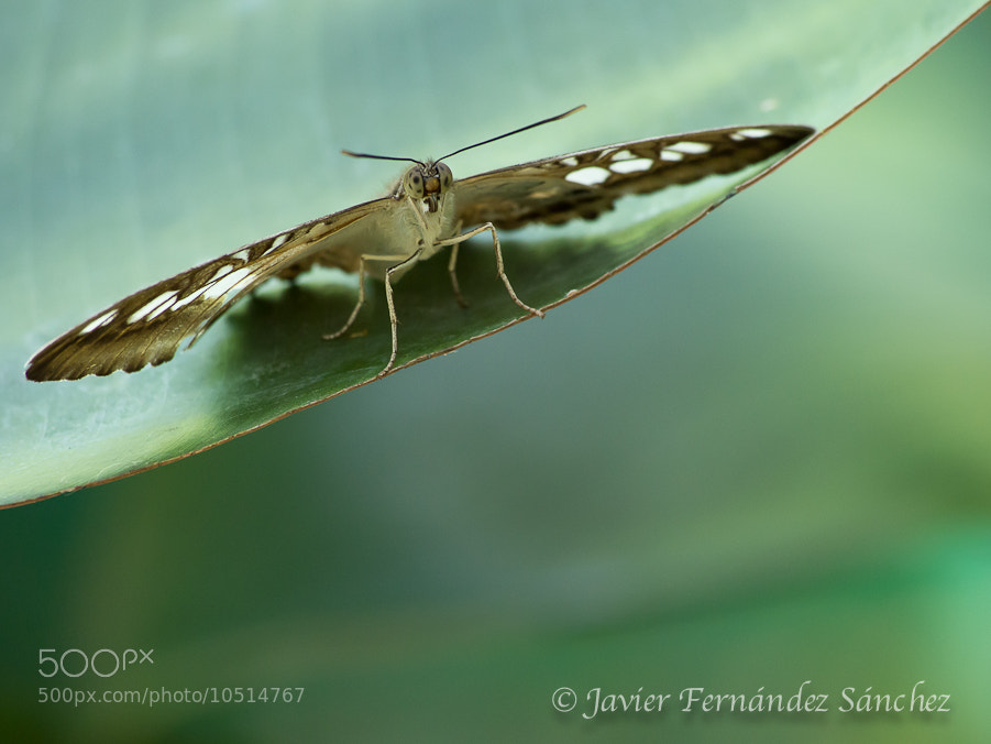 Photograph Tropical butterfly by Javier Fernández Sánchez on 500px