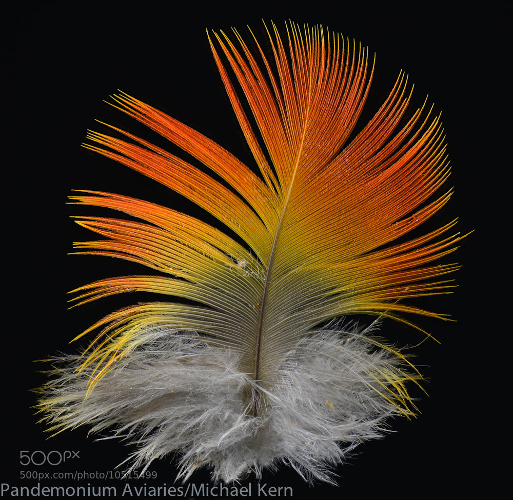 Photograph Feather Detail III by Michael Kern on 500px