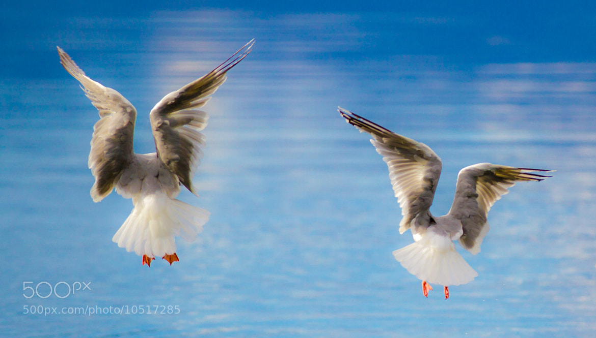 Photograph Seagull Angels by Peter Haukås Nejtek on 500px