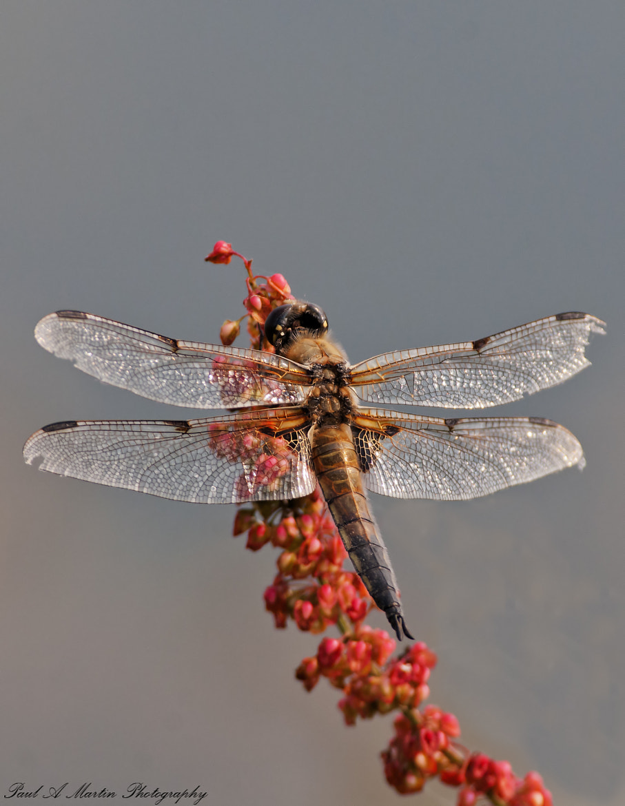 Photograph Four spotted chaser by Paul Martin on 500px