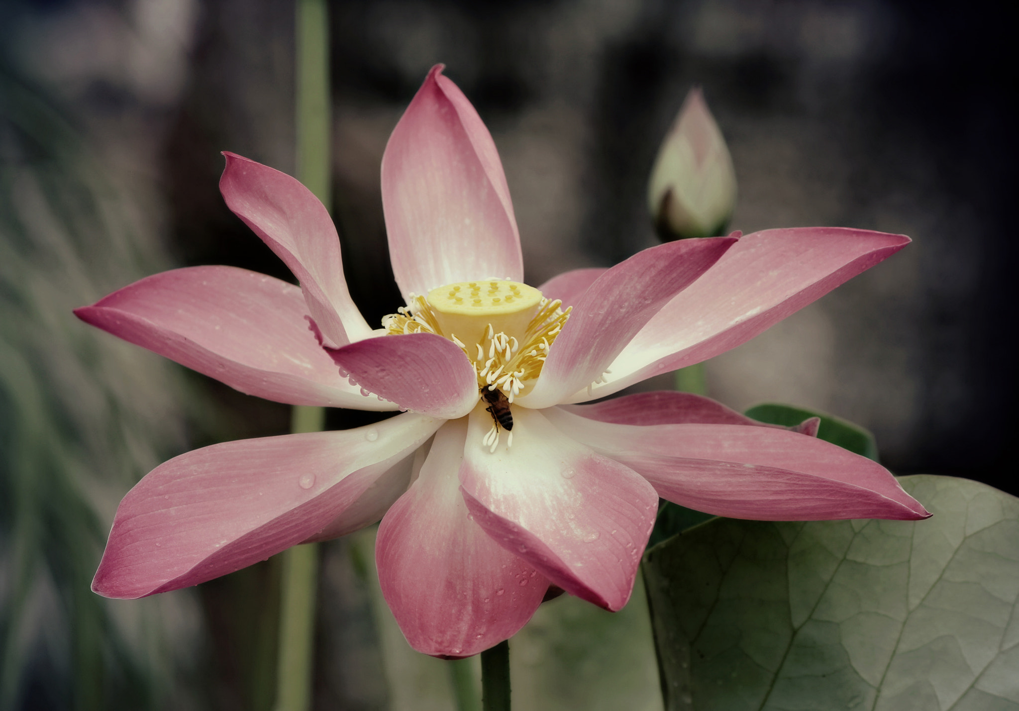 Photograph Bee in the lotus by DS Conyers on 500px
