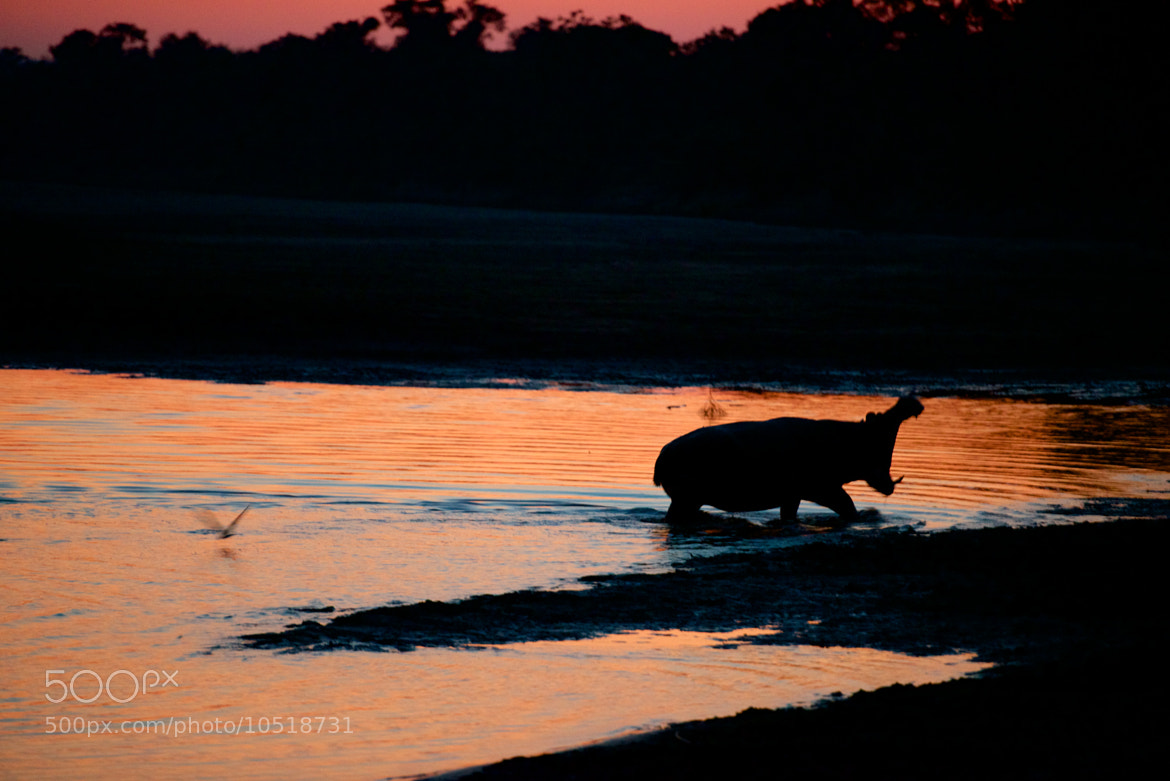 Photograph Hippo in Zambia by Josh Rubin on 500px