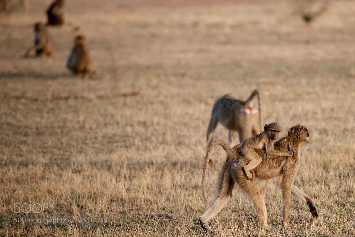 Photograph Baboon and Baby by Josh Rubin on 500px