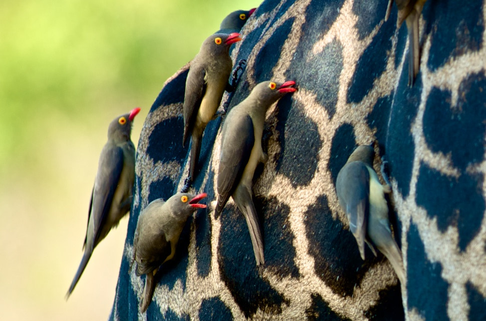 Photograph Birds on a Giraffe by Josh Rubin on 500px