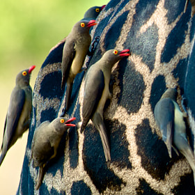 Birds on a Giraffe by Josh Rubin (joshrubin)) on 500px.com