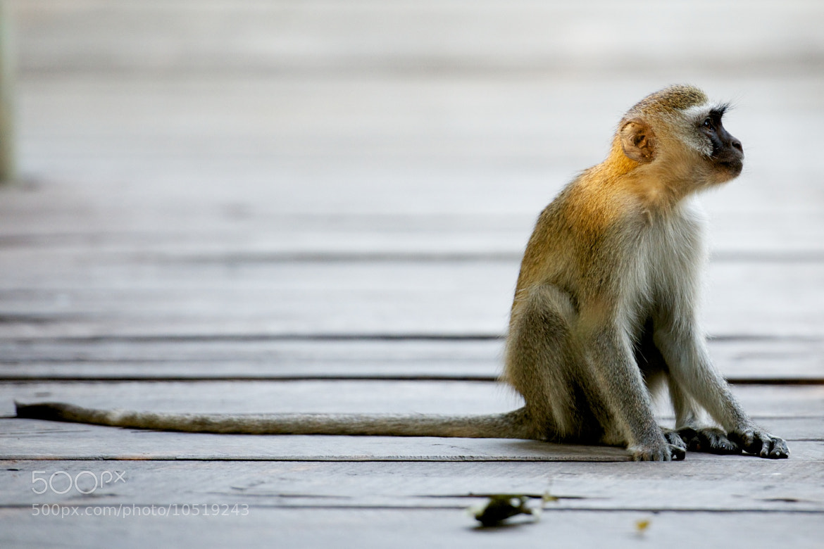 Photograph Monkey by Josh Rubin on 500px