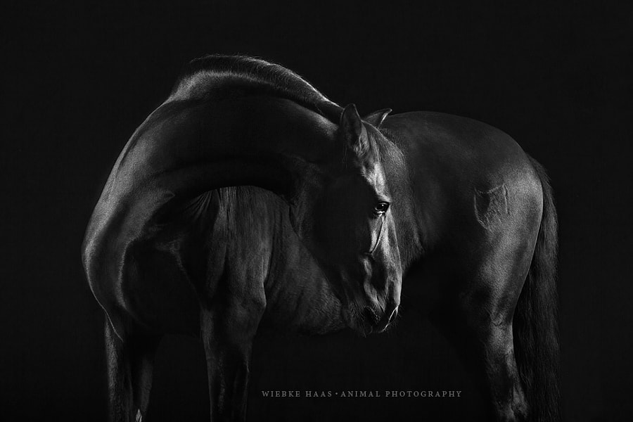 horse photography - Black Beauty by Wiebke Haas on 500px.com