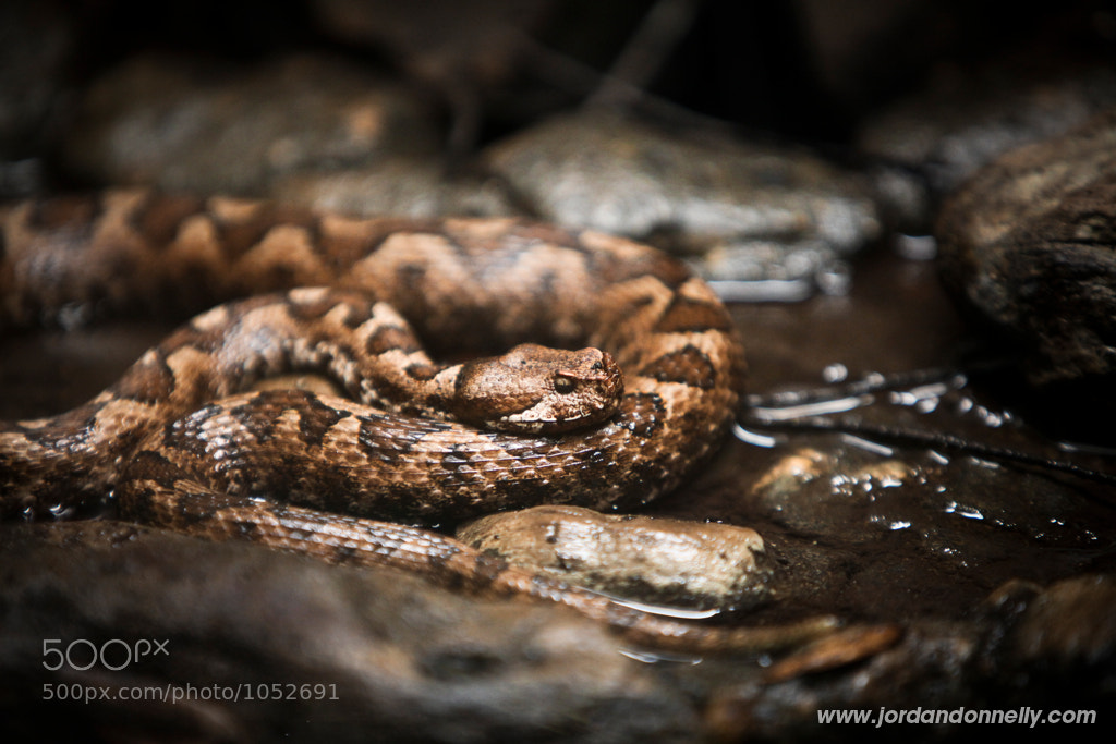 Photograph Snake  by Jordan Donnelly on 500px