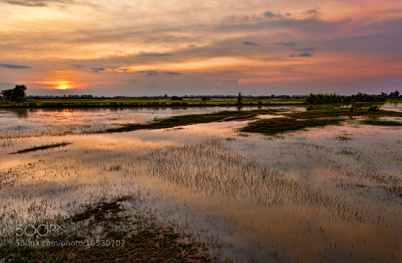 Photograph Sunset over the rice field by Michel Latendresse on 500px