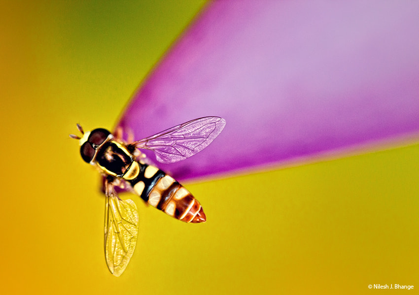 Photograph A Wasp by Nilesh Bhange on 500px