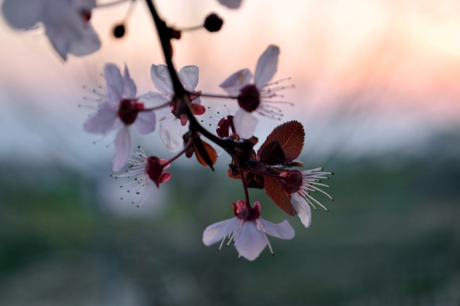 Photograph Cherry Plum Blossoms in a sunset by Papanikolaou Joanna on 500px