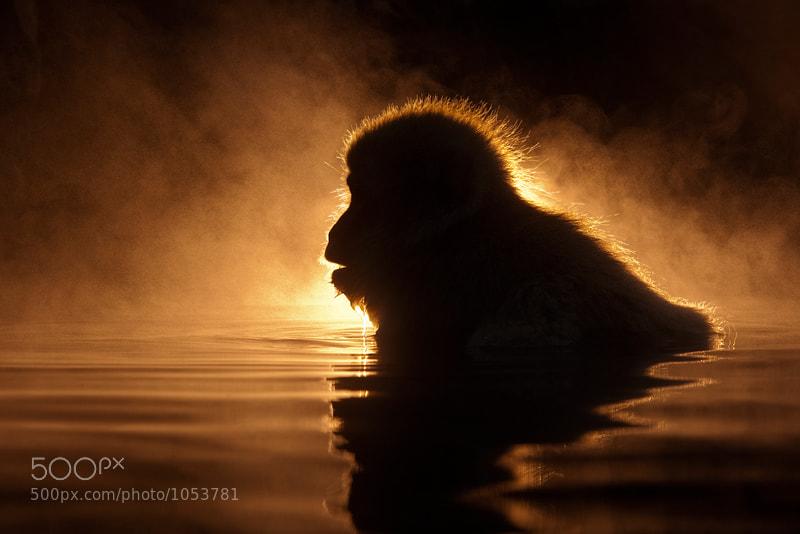 Photograph Macaca Fuscata Illuminata by Marsel van Oosten on 500px