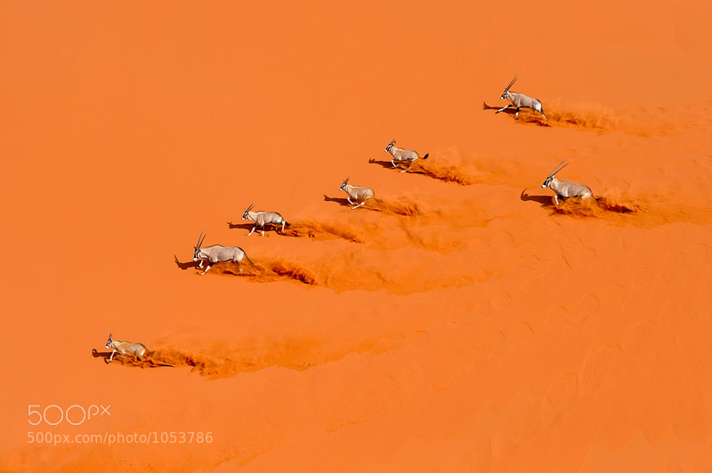Photograph Desert Choreography by Marsel van Oosten on 500px