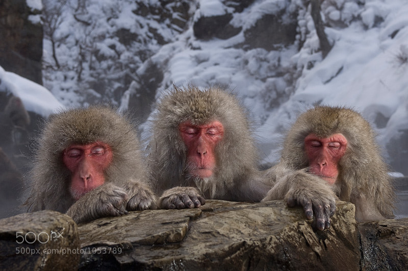 These snow monkeys are just übercool. During the cold winter months they like to bathe in the natural hot springs, very clever. For most animals, water is just something they need to drink or wash with, but these guys really know how to enjoy a warm bath.