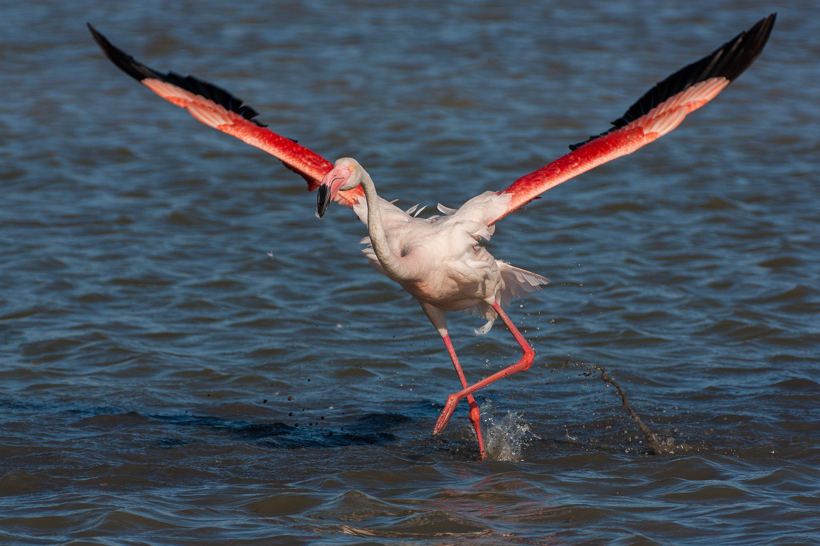 Photograph Flamingo by Laurent Staes on 500px