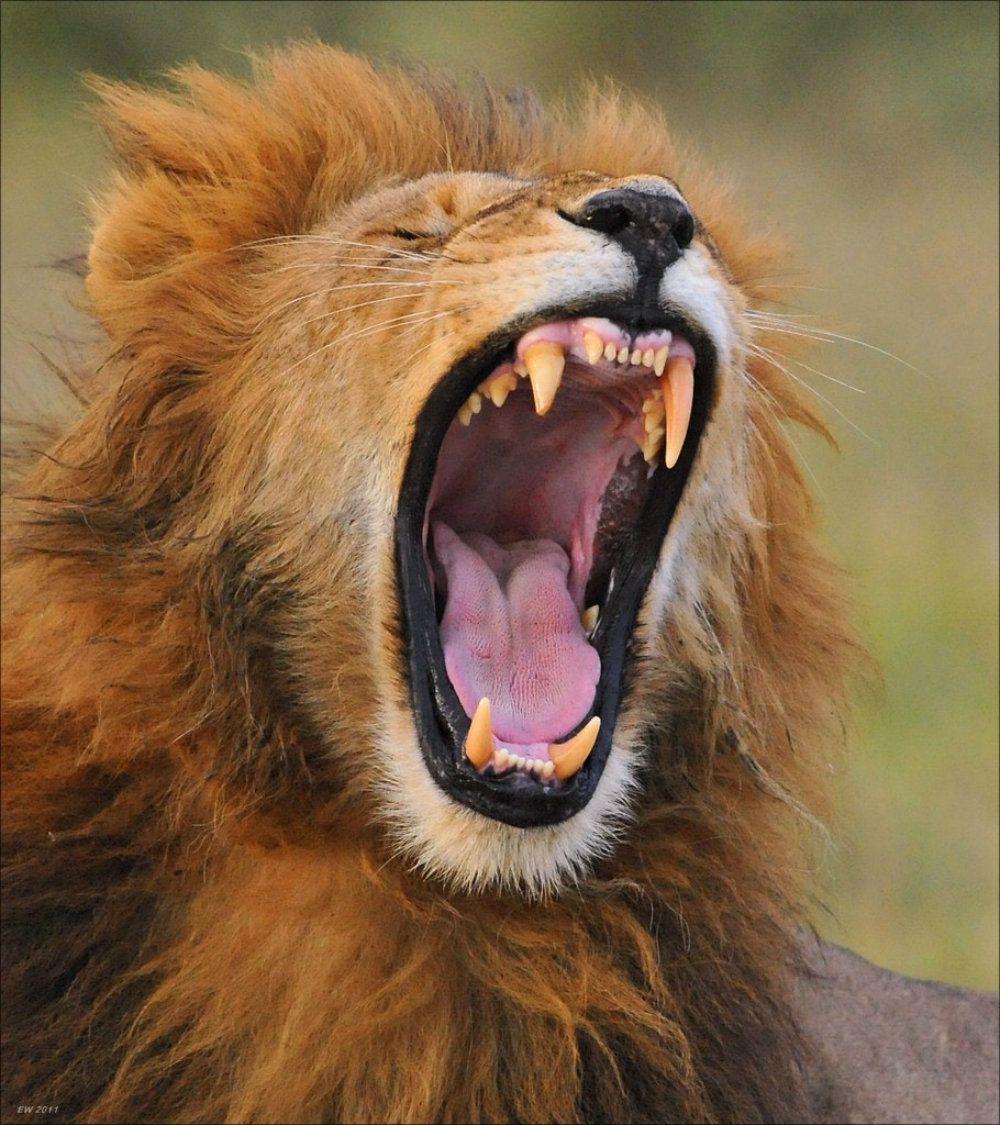 Photograph Yawing Lion by Elmar Weiss on 500px