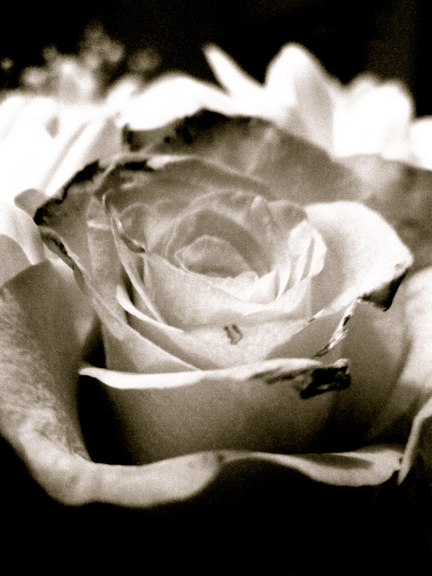Photograph Rose by Stefano Menegon on 500px