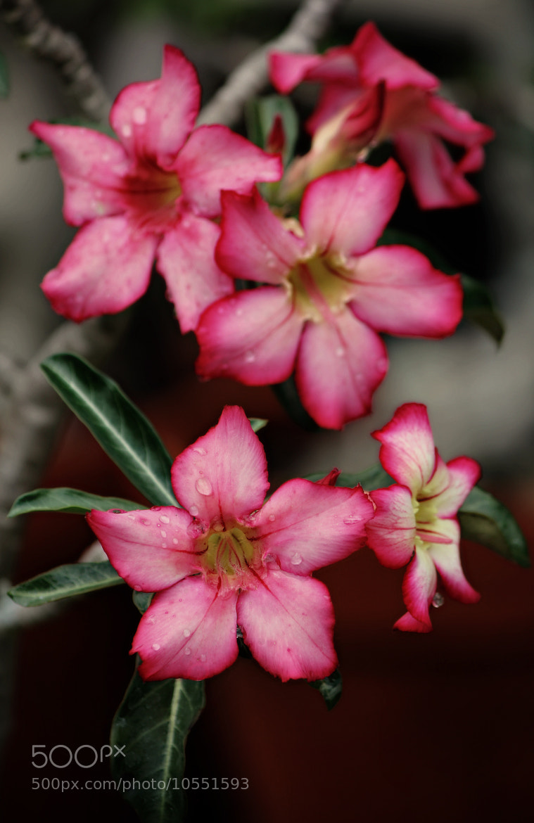 Photograph Desert rose by DS Conyers on 500px