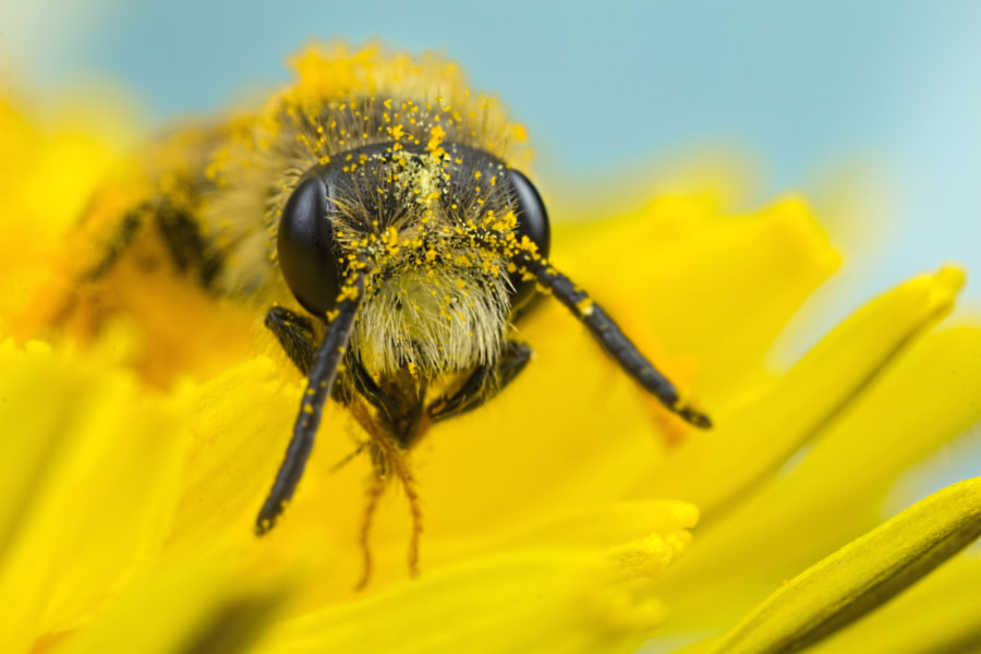 Photograph Minor Bee in Flower by Chris Atkinson on 500px