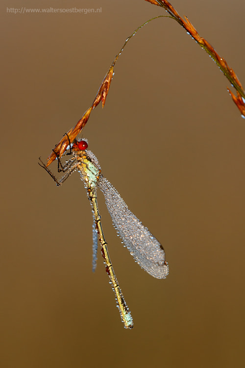 Photograph Small Red-Eyed Damselfly by Walter Soestbergen on 500px