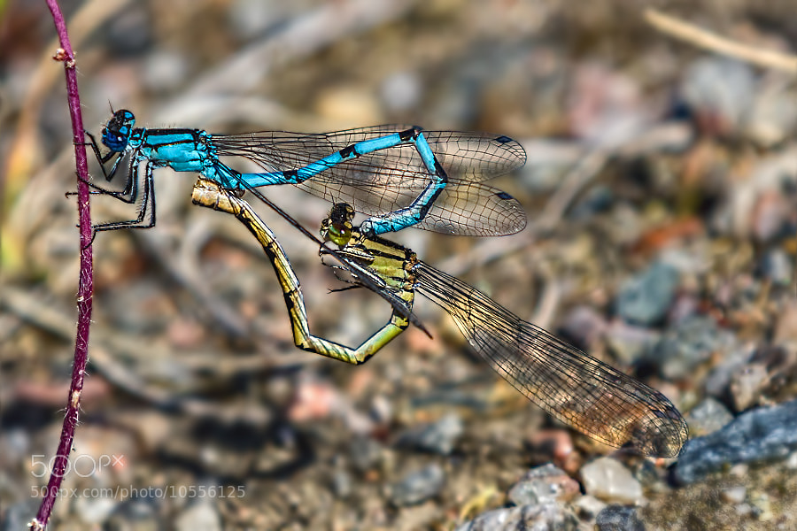 Photograph Dragonflies by Michel Kant on 500px