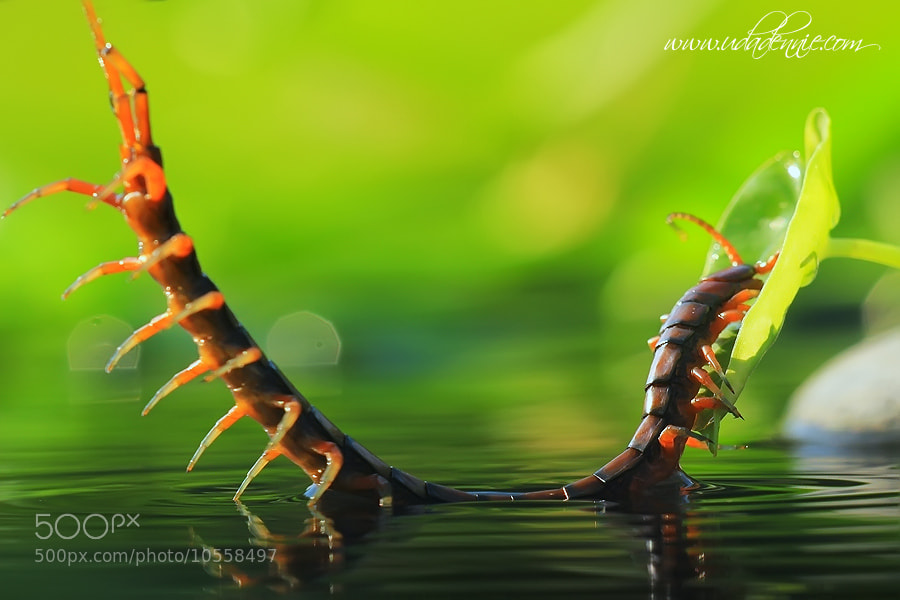 Photograph Centipede by Uda Dennie on 500px