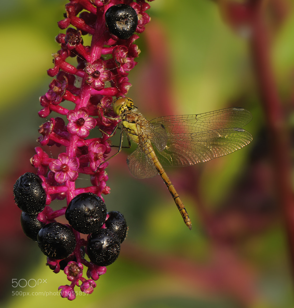 Photograph dragonfly by mauro maione on 500px