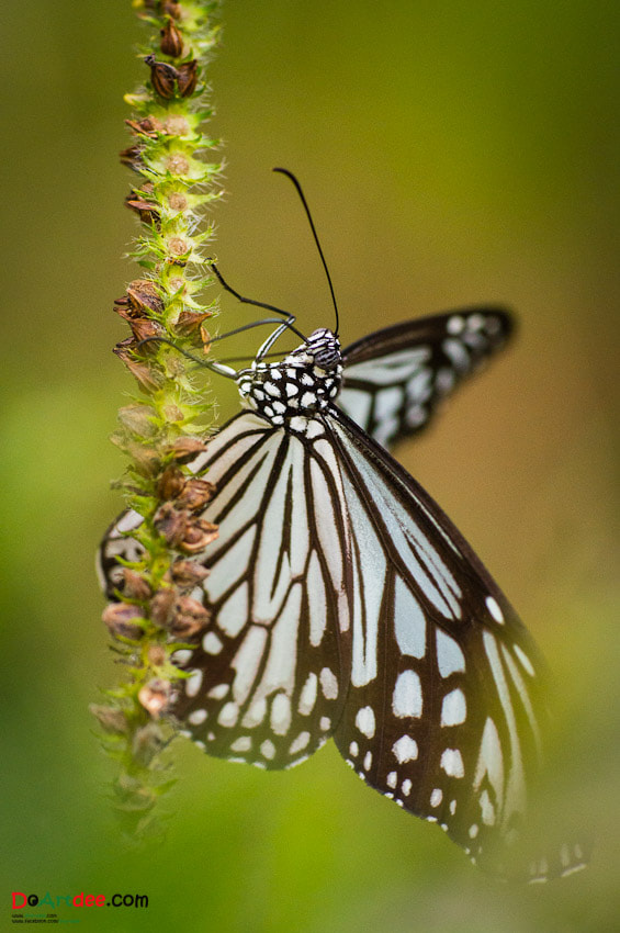 Photograph butterfly  by Chaiyong Kokanutaporn on 500px
