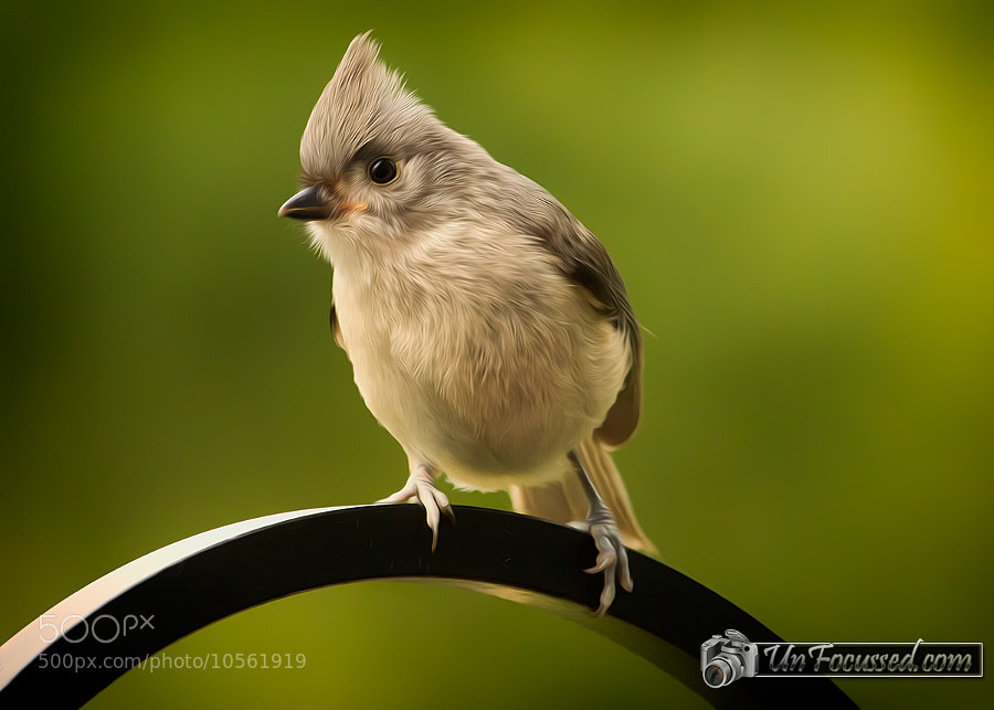 Flowing Tufted Titmouse by Bill Tiepelman (oddballz) on 500px.com