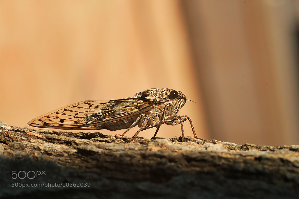 Photograph Cicada. by Necdet Yasar on 500px