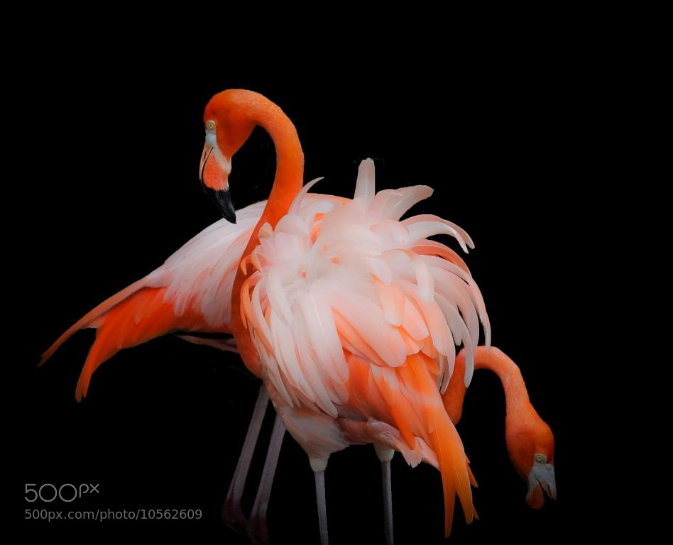 Photograph Flamingo's by Poppi Robles on 500px