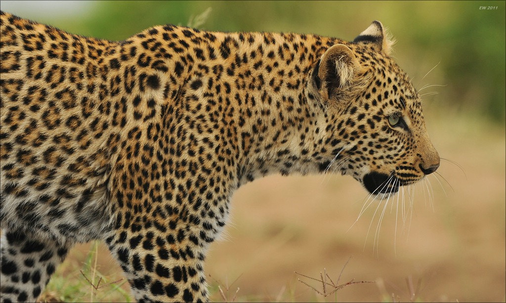 Photograph Leopard by Elmar Weiss on 500px