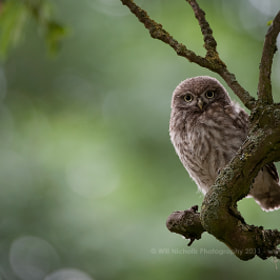 Immature Little Owl